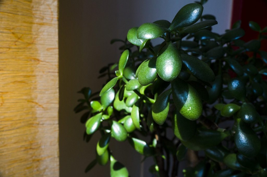 Trailing Jade Best Indoor Plants for Hanging Baskets