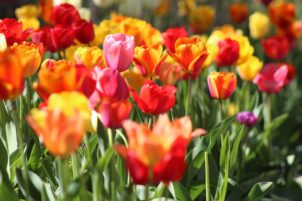 Tulips for December Birthdays