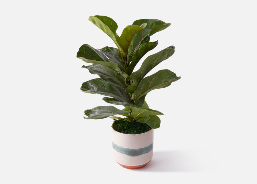 UrbanStems Fiddle Leaf Fig Plant Same Day Delivery in the United States
