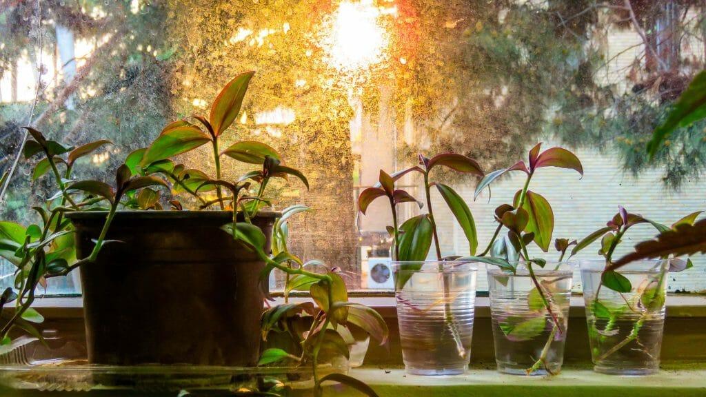 Wandering Jew Inchplant for Indoor Hanging Plants