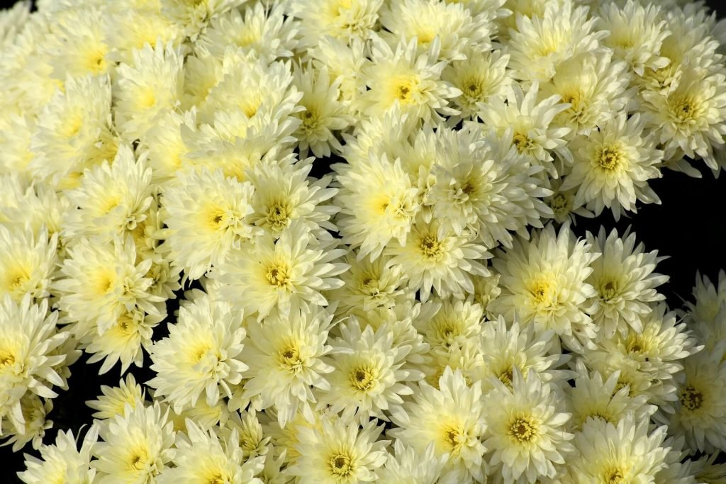Yellow Chrysanthemums November Birth Flowers