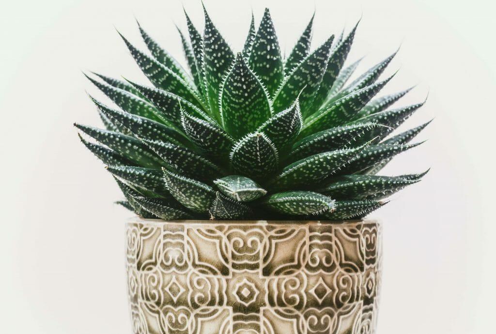 Aloe Plant Origins and history