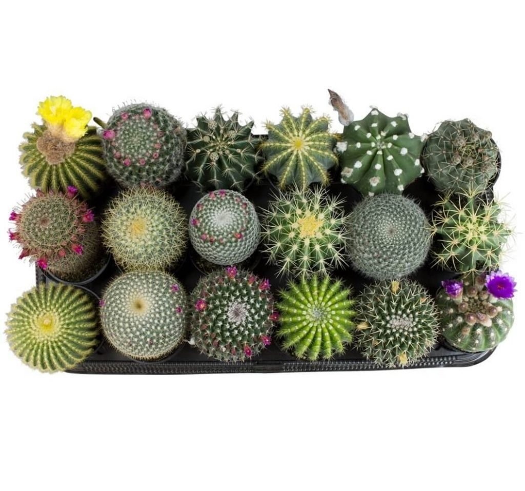 Altmans Nationwide Cactus Delivery USA