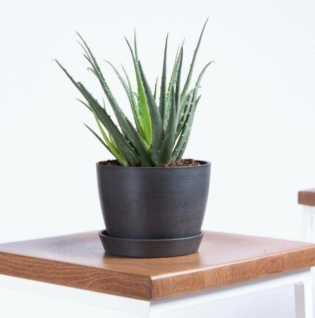 Bloomscape Aloe Vera Plant Delivery Nationwide USA