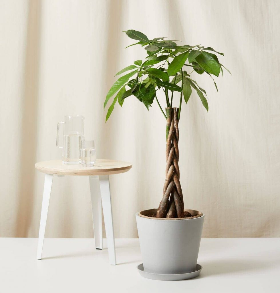 Bloomscape Large Money Tree Plant Delivery in the USA
