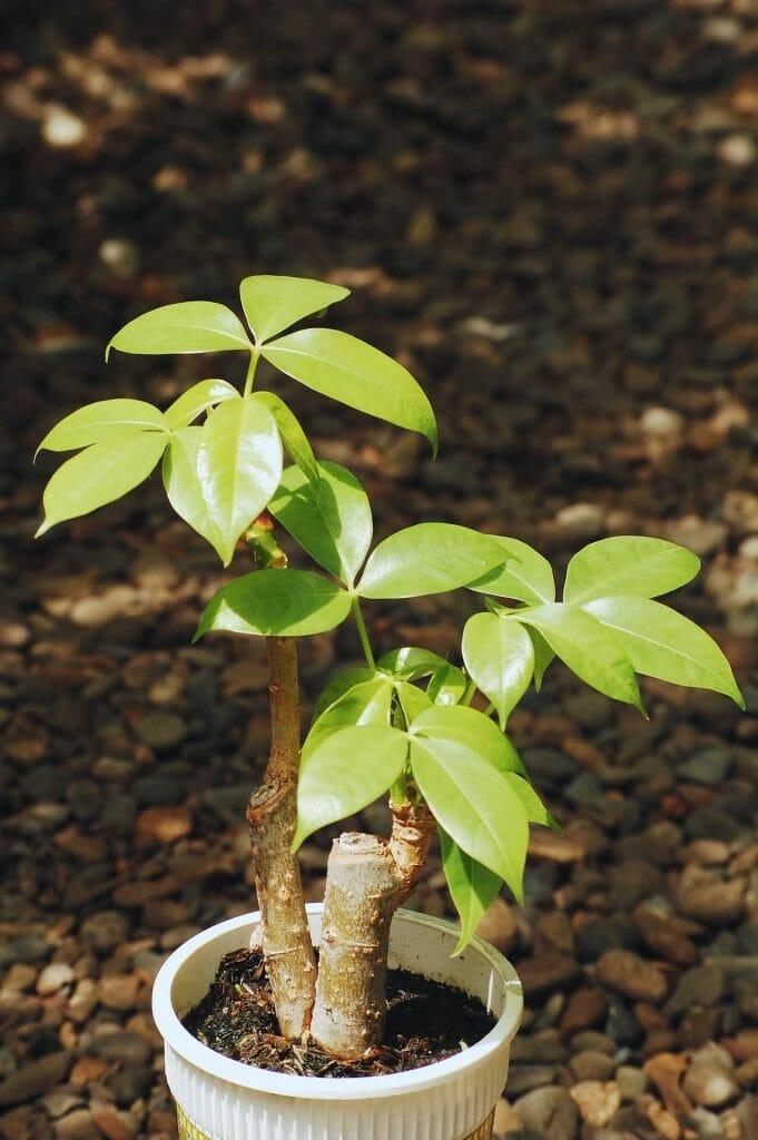 Bonsai Boy Money Tree Plant Delivery