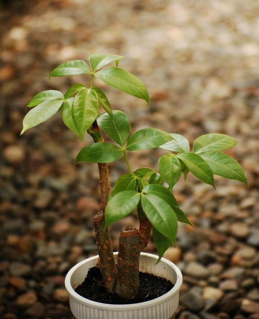 Bonsai Boy Where to Buy Money Tree Plants in the USA