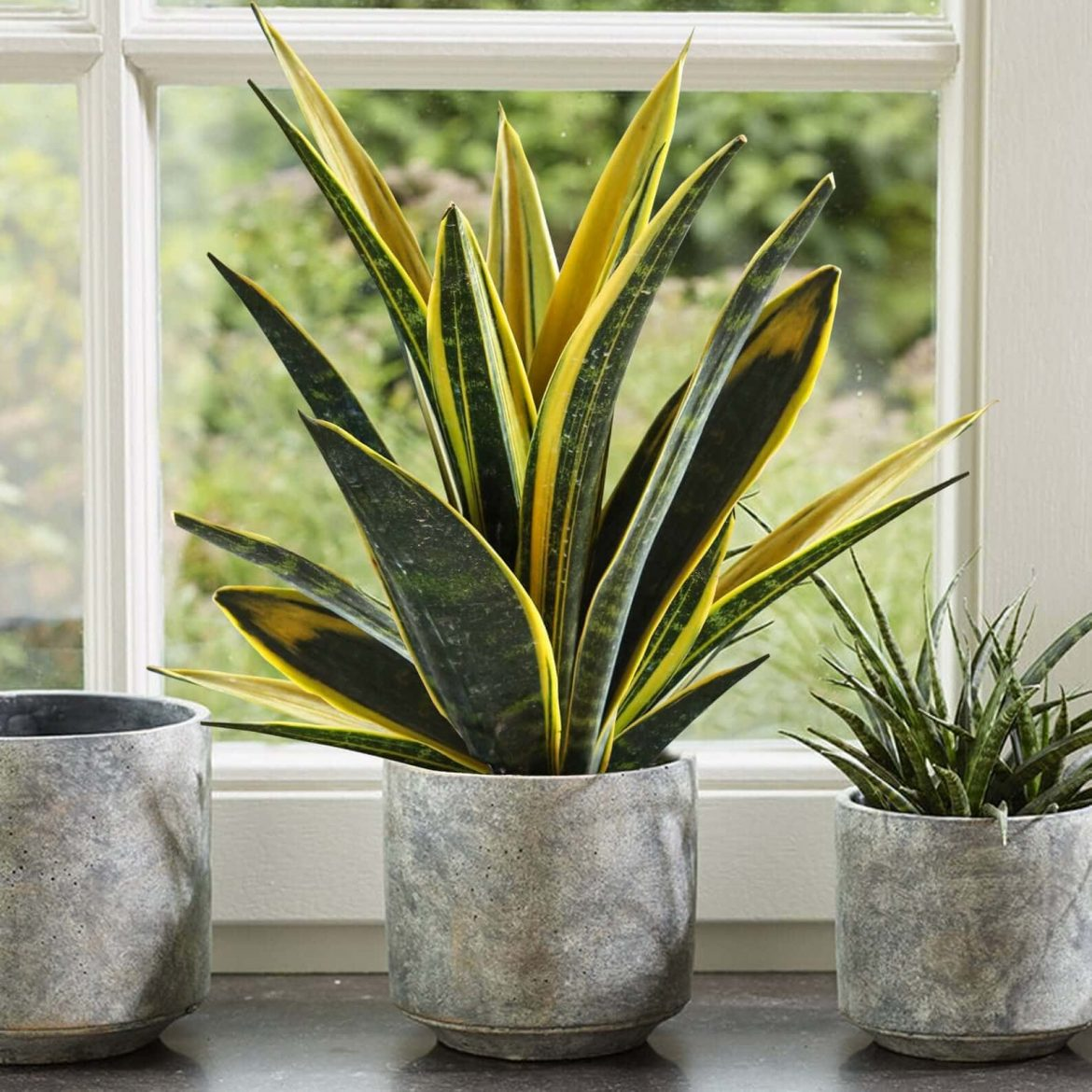 Where to Buy Snake Plants (10 Best Delivery Options ...