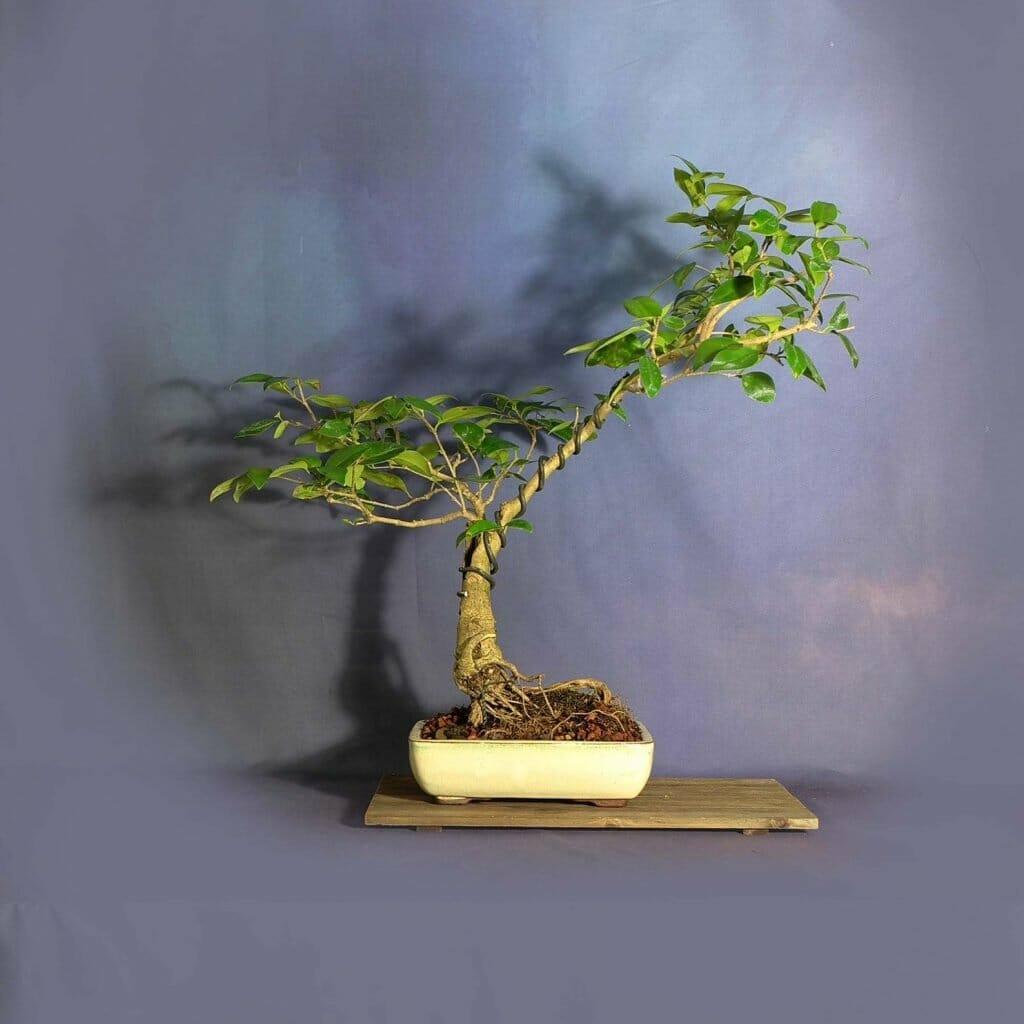 Etsy Where to Buy Bonsai Trees