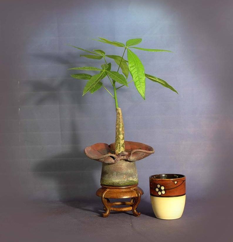 Etsy Where to Buy Money Tree Plants in the USA
