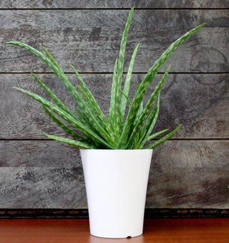 Fast Growing Trees Aloe Vera Plant Delivery