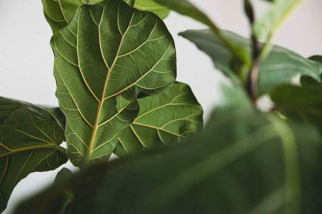 Fiddle Leaf Fig Tree Light Preferences
