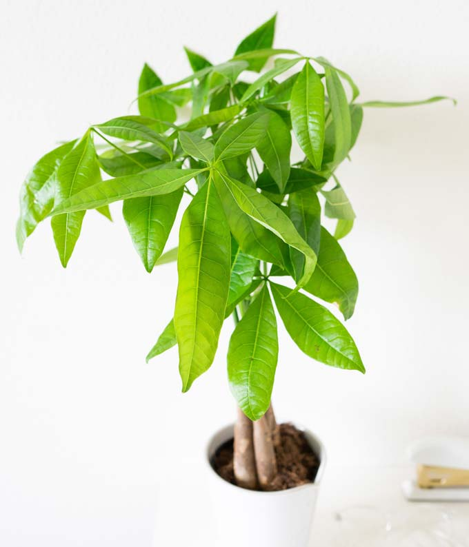 FromYouFlowers Same Day Money Tree Plant Delivery