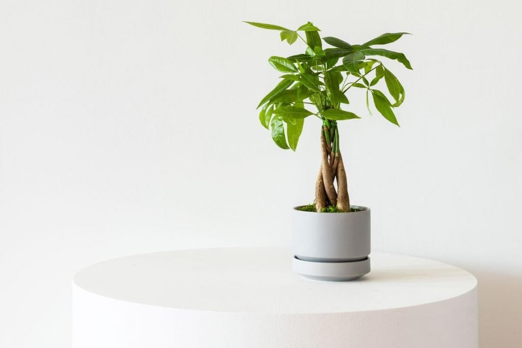 How to Grow Money Tree Plants at Home - Leon and George