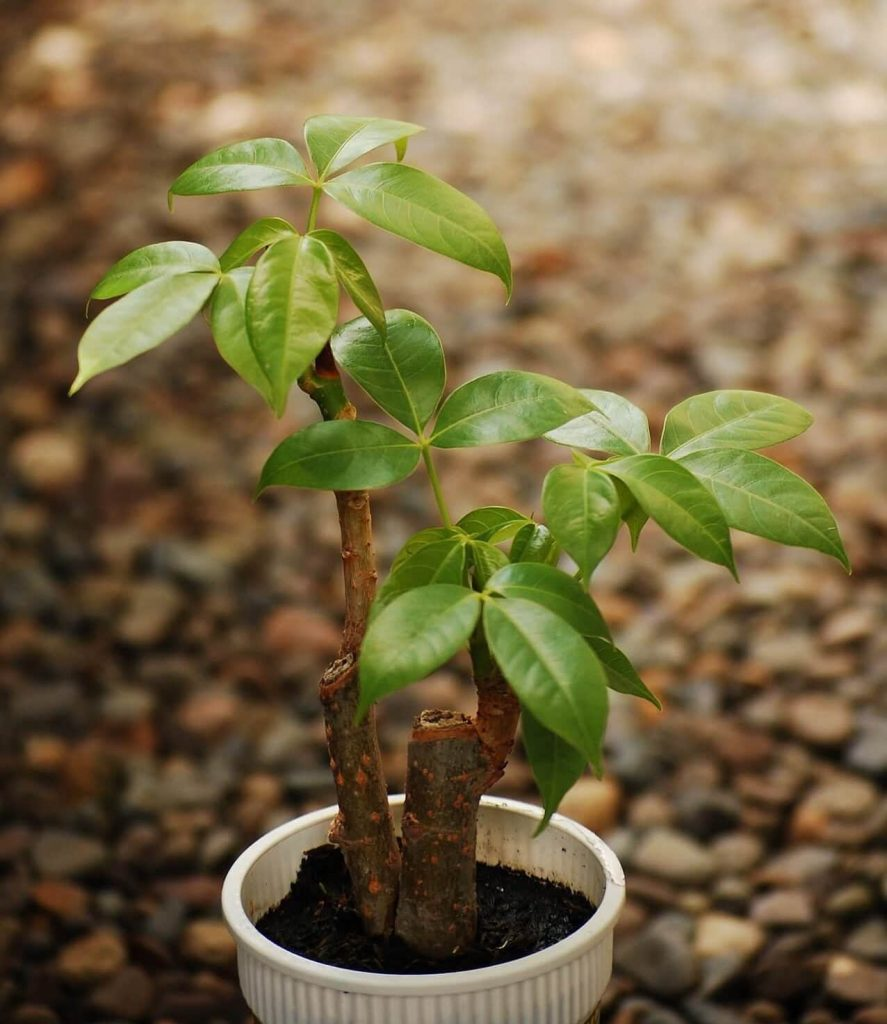 How to prune money tree plants at home