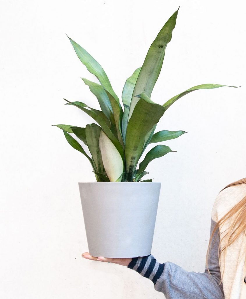 How to repot snake plants Bloomscape