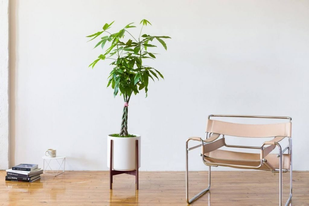 Leon and George Where to Buy Braided Money Tree Plants in the USA