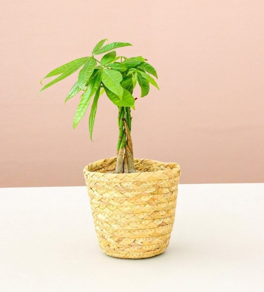Lively Root Houseplants Where to Buy Money Tree Plants in the USA
