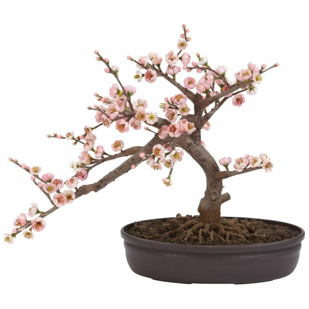 Oriental Decor Where to Buy Bonsai Trees in the USA