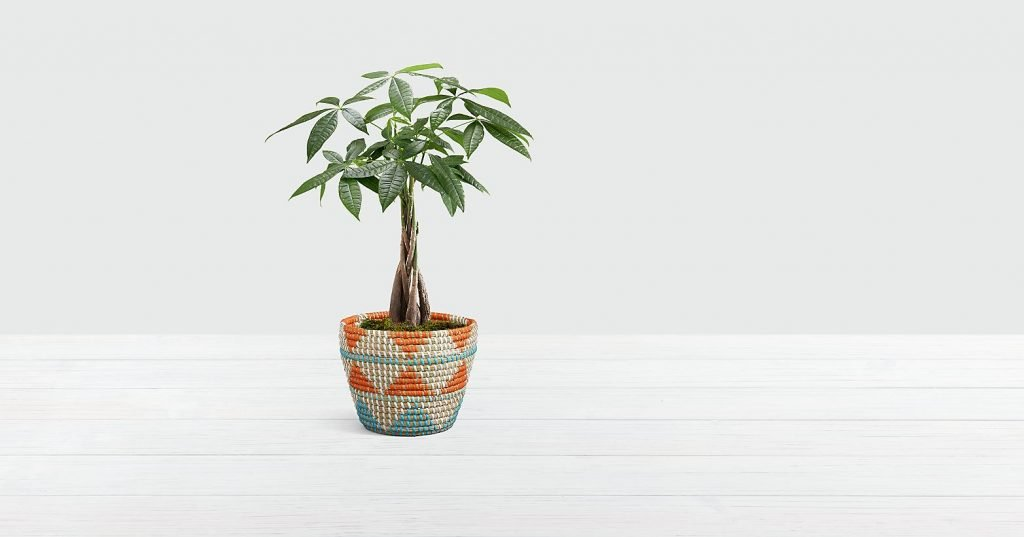 ProFlowers Money Tree Plant Same Day Delivery USA