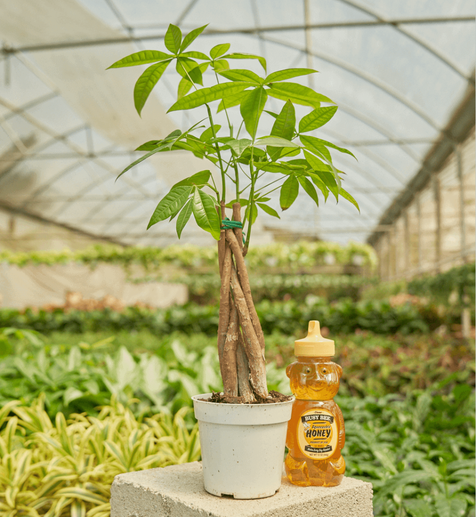 Rooted Money Tree Plant Delivery in the USA