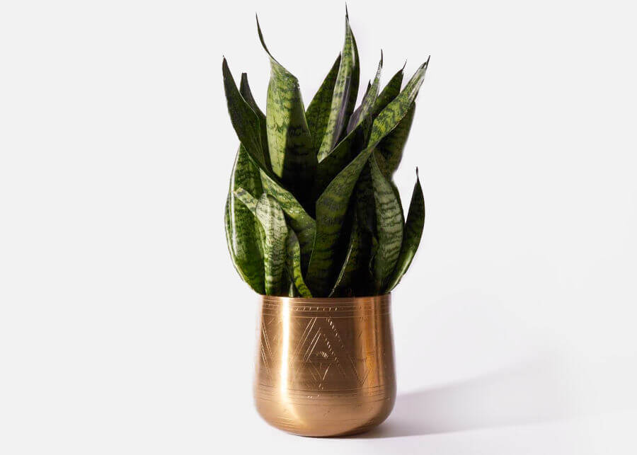 Snake Plants from UrbanStems
