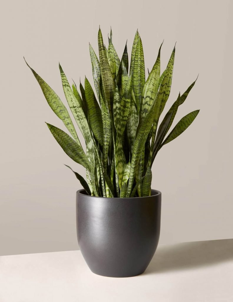 The best soil mix for snake plants