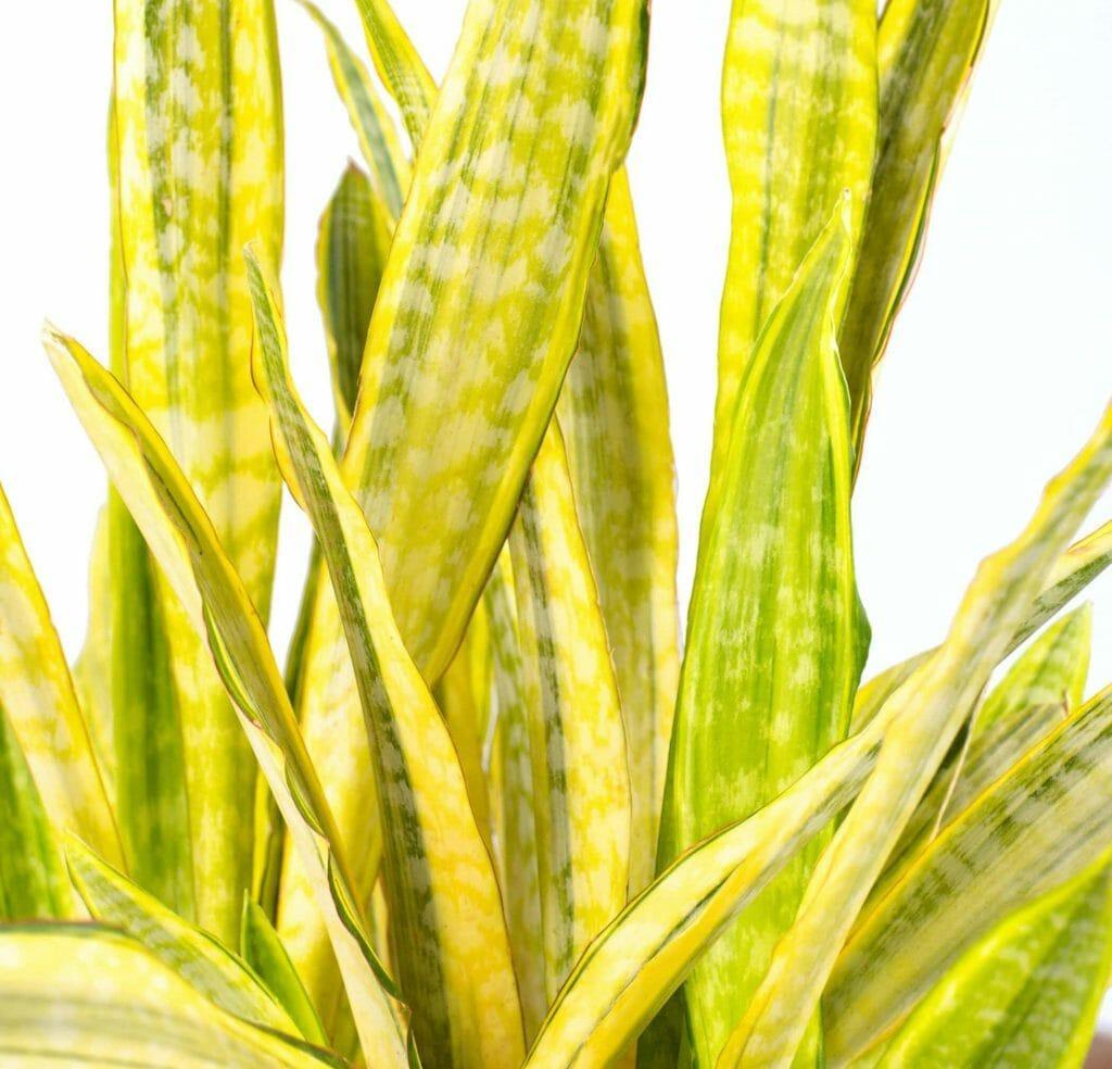 Snake plant propagation tips