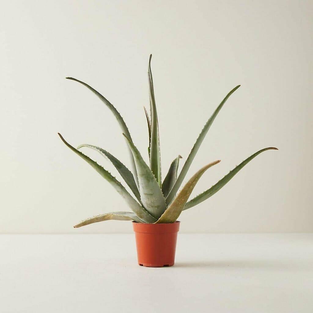 Terrain Aloe Vera Plant Delivery Nationwide