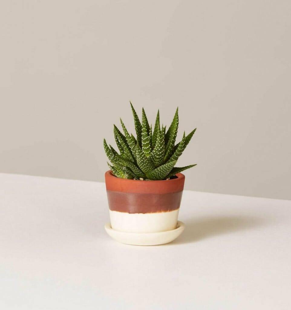 The Sill Aloe Vera Plant Delivery Nationwide USA