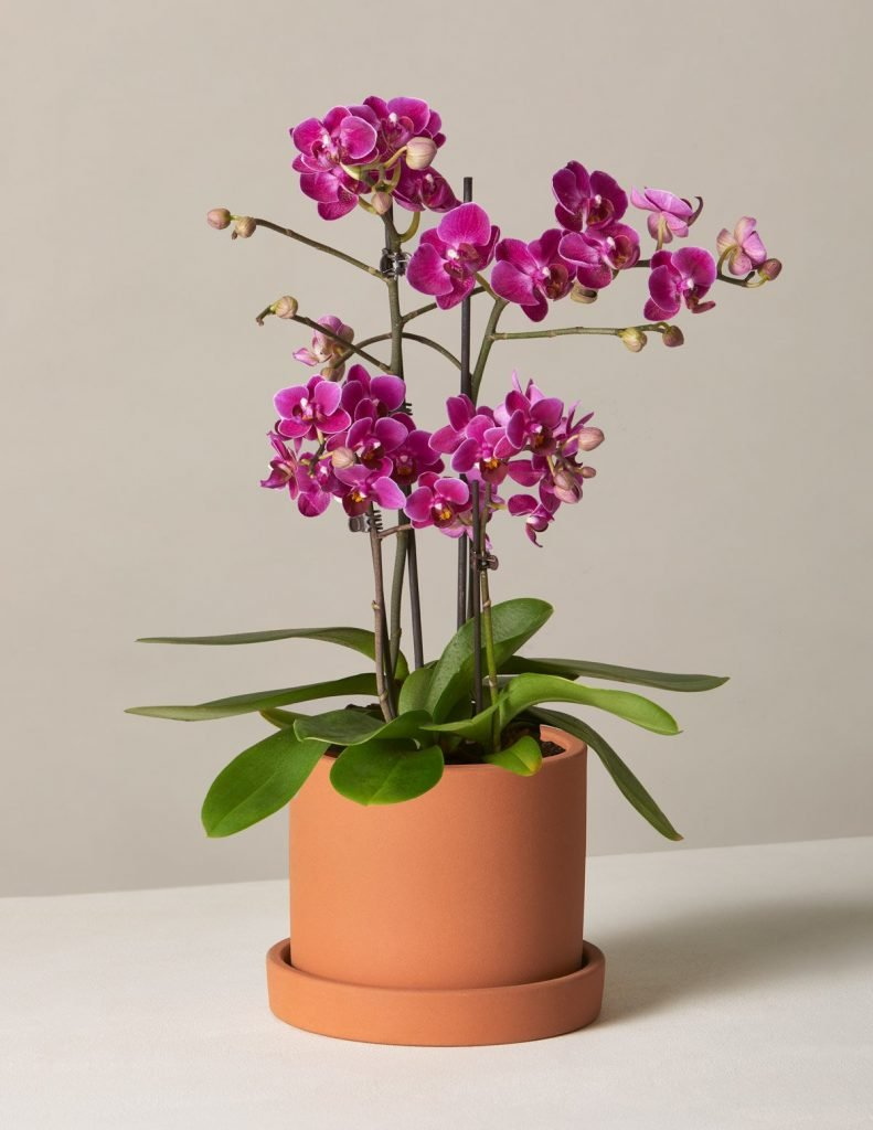 The Sill Orchid Delivery Los Angeles