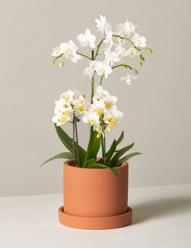 The Sill White Orchid Delivery in Los Angeles