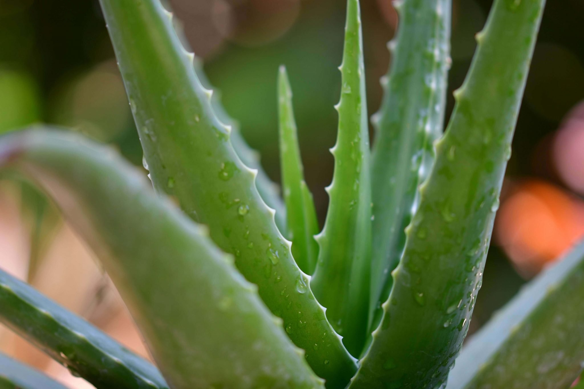 Ultimate Guide To Aloe Vera Plants