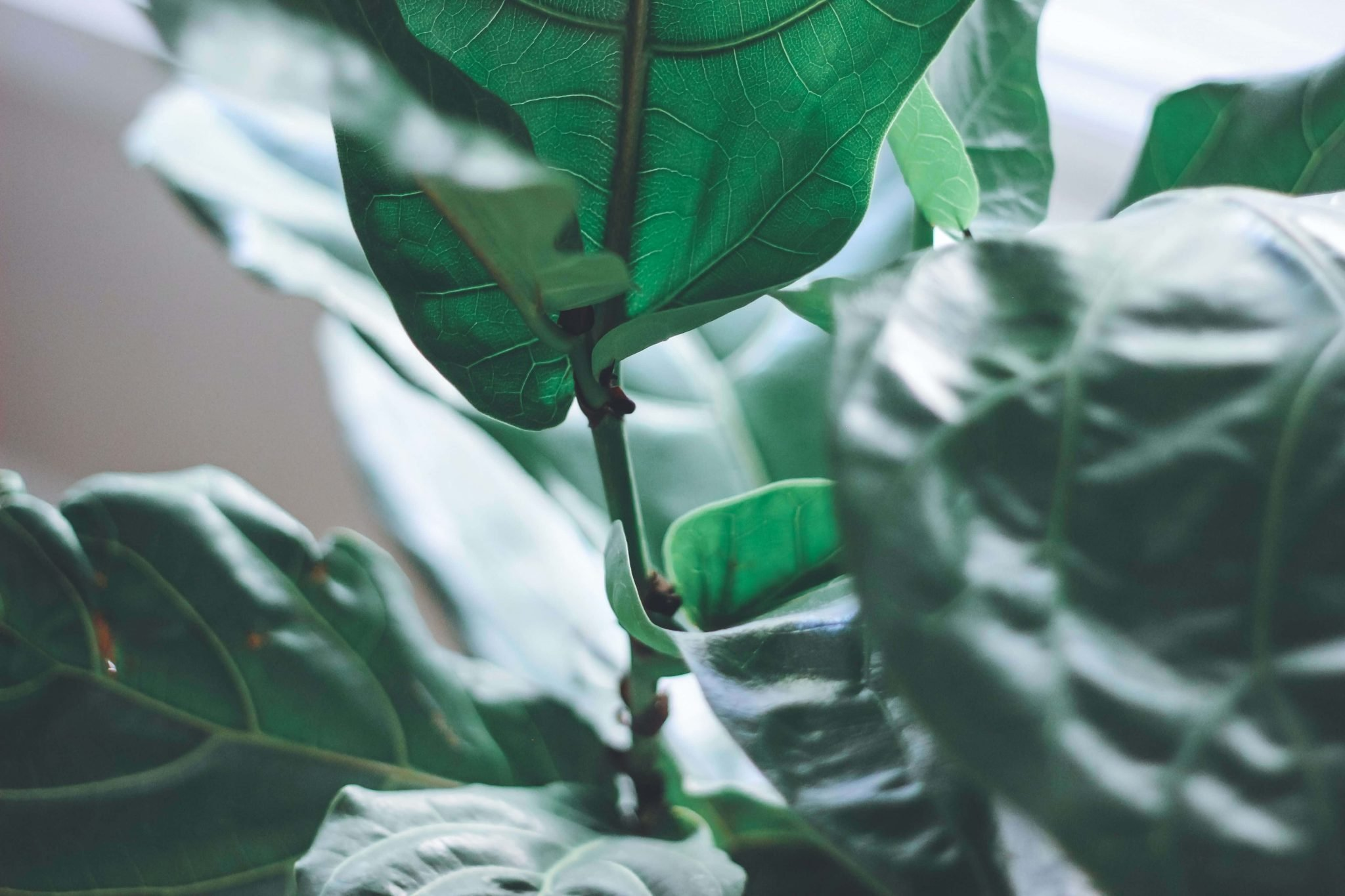 Ultimate Guide To Fiddle Leaf Fig Tree Care