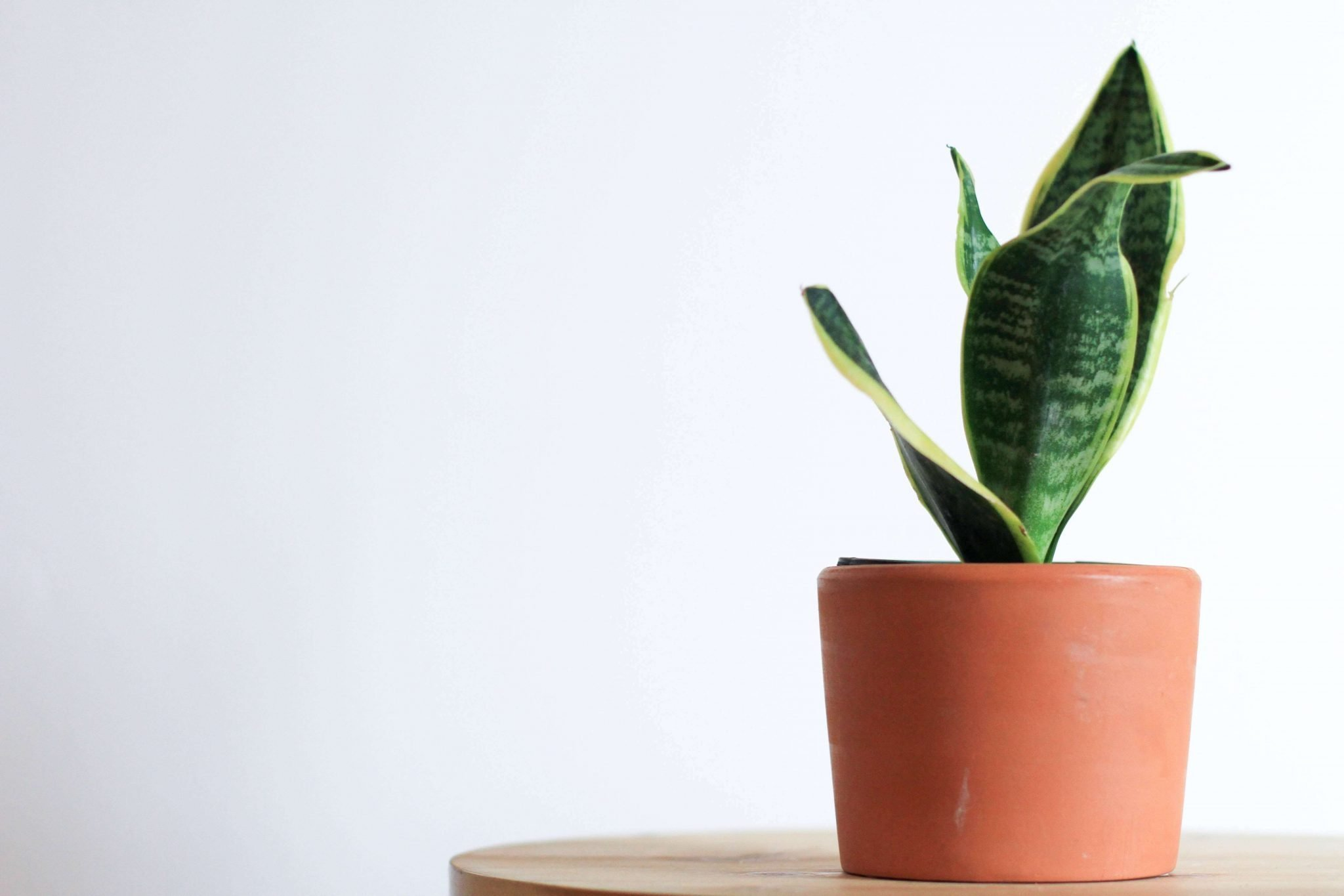 Ultimate Guide to Growing and Caring for Snake Plants