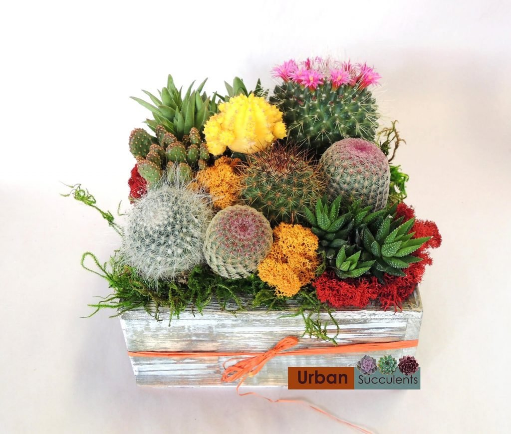 Urban Succulents Cactus Gardens for delivery Nationwide across the USA