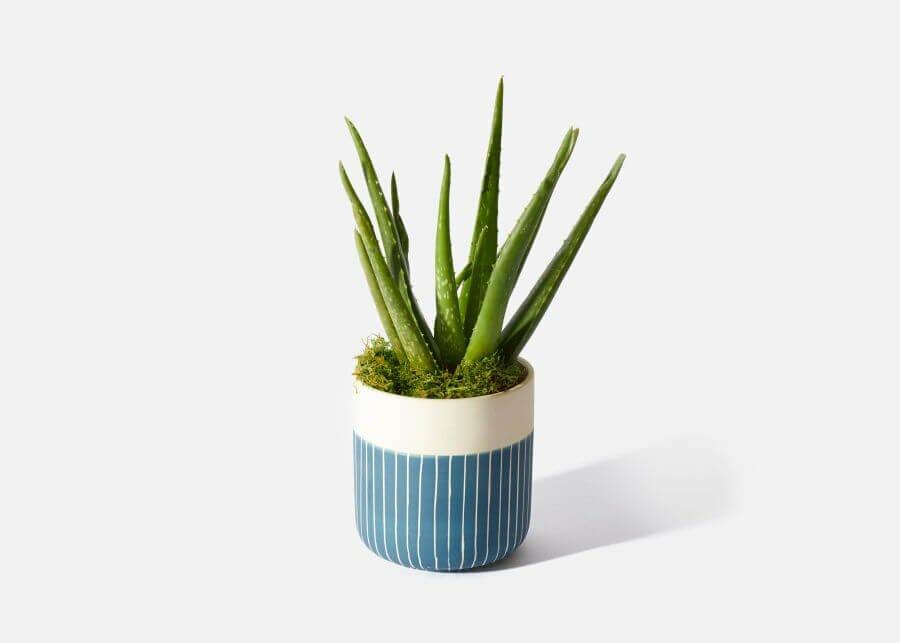UrbanStems Aloe Vera Plant Delivery Nationwide