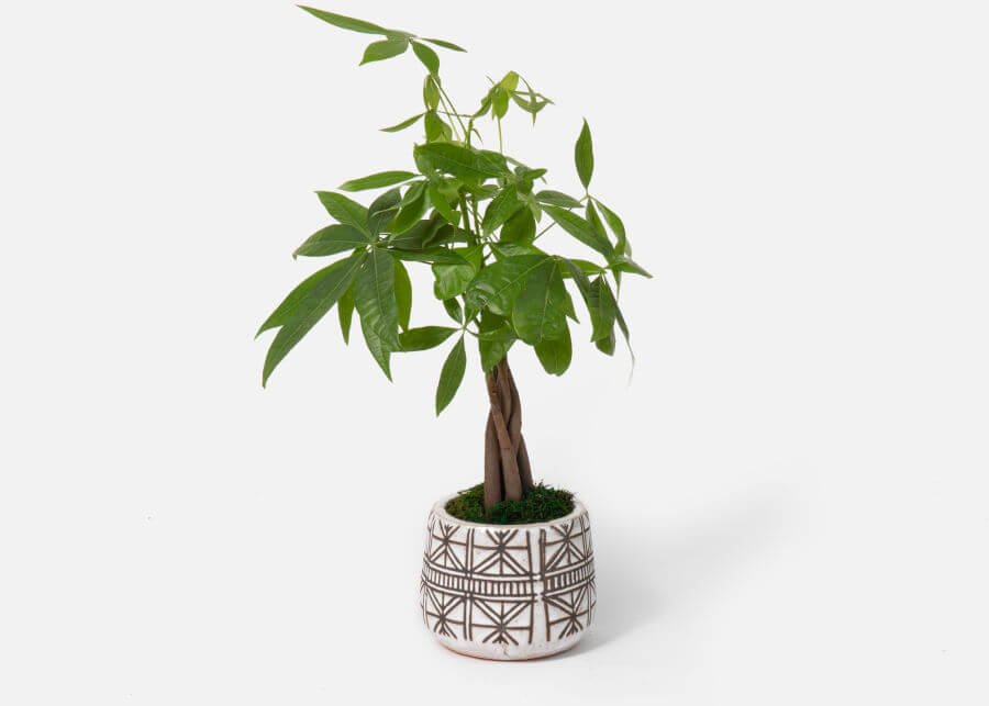 UrbanStems Money Tree Plant Delivery in the USA