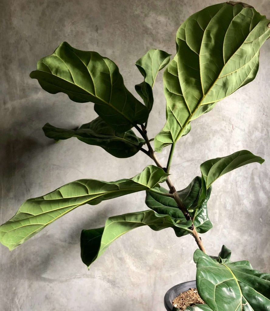 Watering Fiddle Leaf Fig Trees