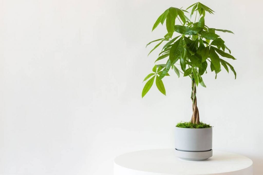 Where to Buy Money Tree Plants in the USA