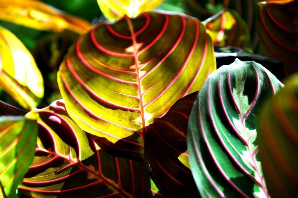 About Prayer Plants
