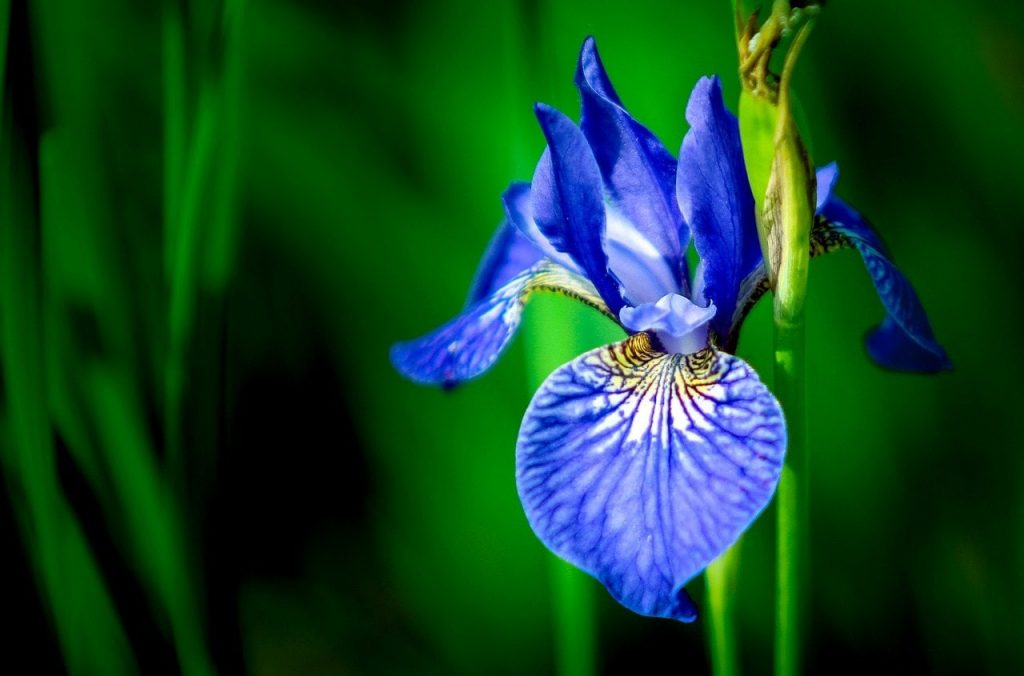 Blue Iris Flower Meaning and Symbolism