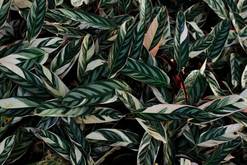 Common Prayer Plant Problems, Pests & Diseases