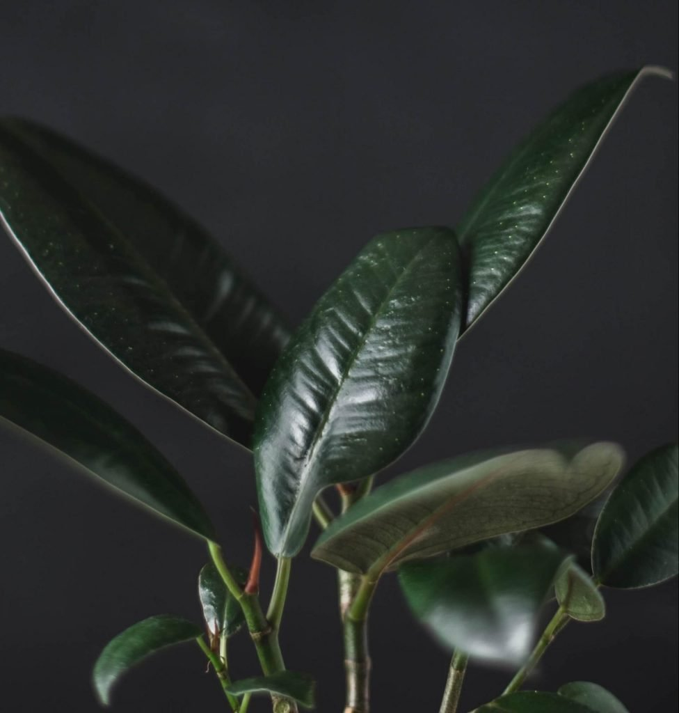 Common Rubber Tree Plant Problems and how to treat them