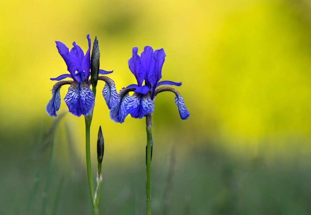 Crested Iris Flowers