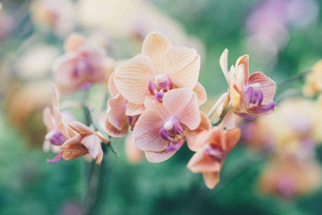 Cultural significance of orchid flowers