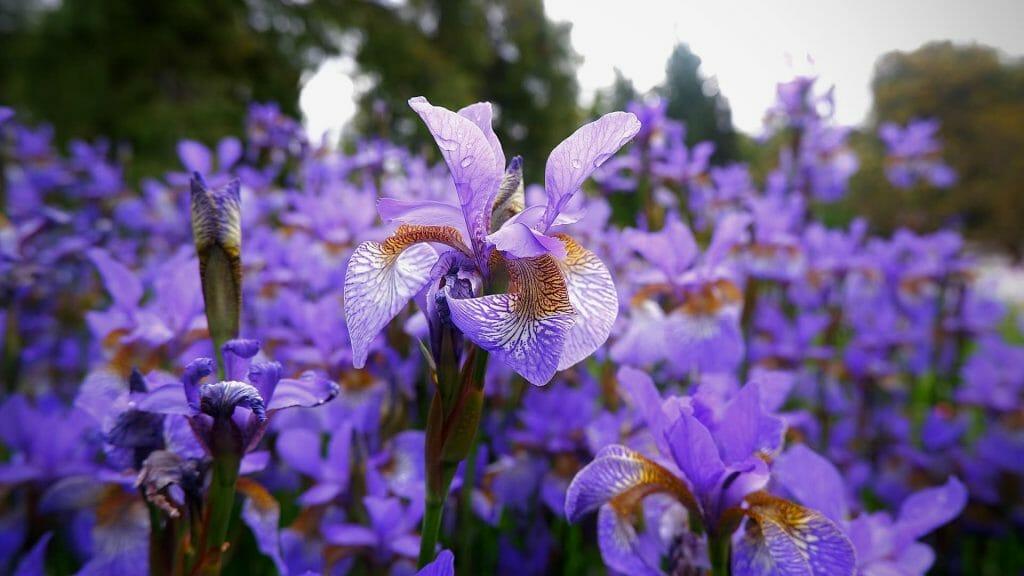 History and Origins of Iris Flowers