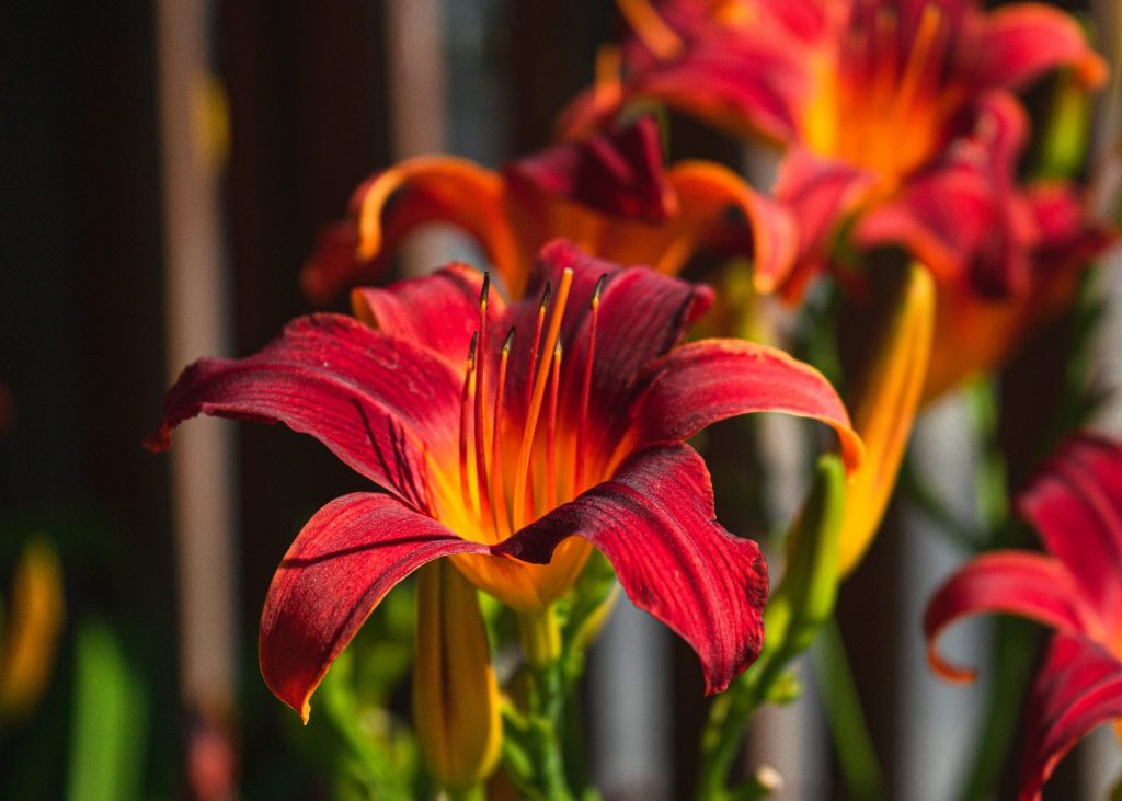 History and Significane of Lily Flowers