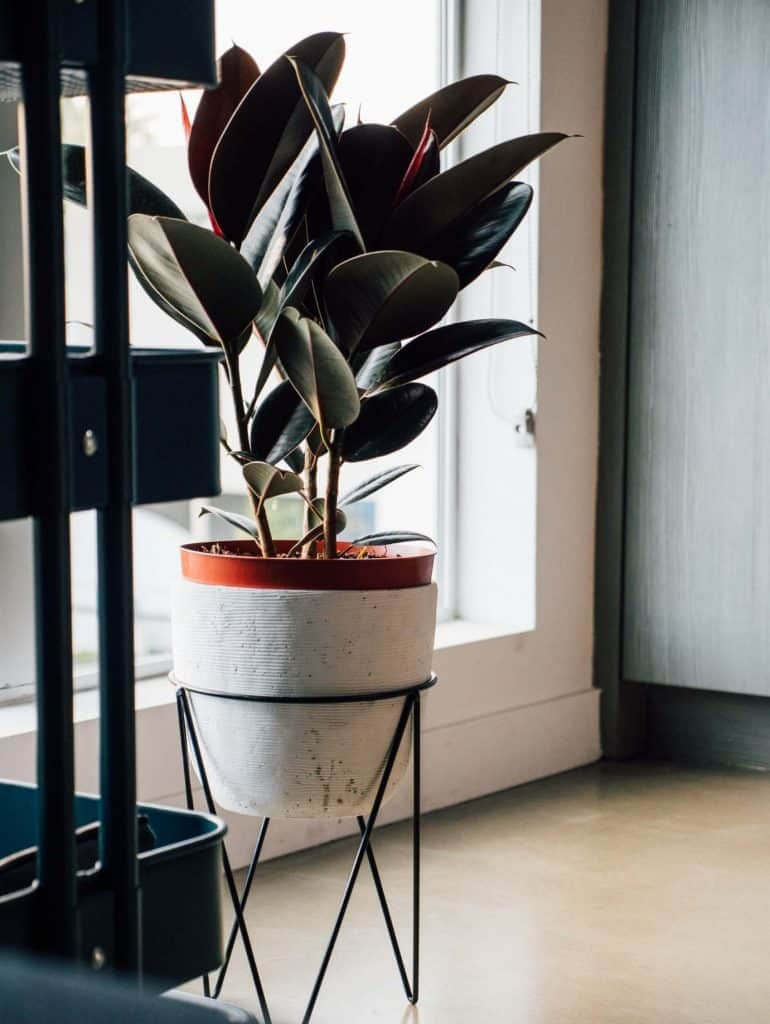 How To Grow Rubber Tree Plants - Soil, Size and Light Preferences