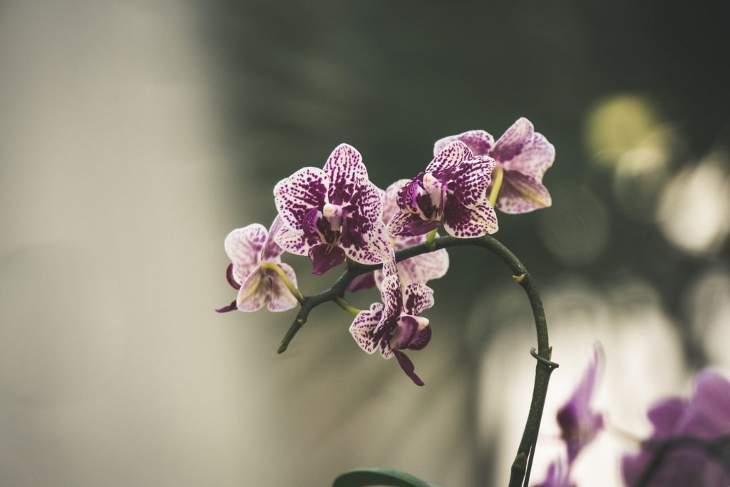 How to Care for Orchid Flowers
